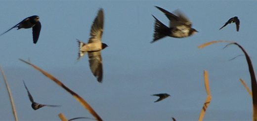 Swallows above the sewage works, South Africa, Tim Dee