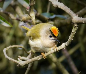 Male Goldcrest. Gail Hampshire. Attribution 2.0 Generic (CC BY 2.0)