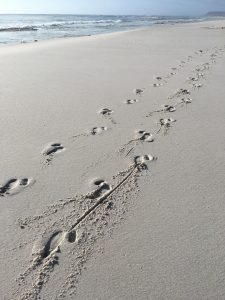 Ostrich tracks on a South African beach.
