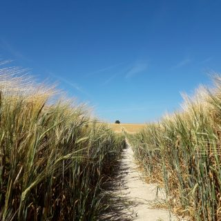 Barley Field - Henry Rothwell